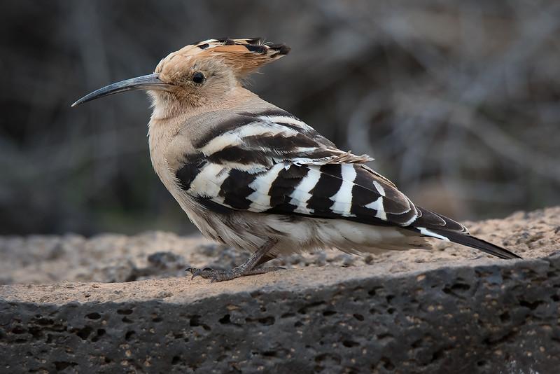 Hærfugl / Eurasian Hoopoe <br /> Tenerife, Spania 26.12.2014<br /> Canon 7D Mark II + Tamron 150 - 600 mm G2 @ 500 mm