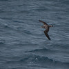 Gulnebblire / Cory's Shearwater <br /> Tenerife, Spania 26.2.2005<br /> Canon EOS 20D + EF 200 mm 2,8 L + Extender 1.4 x