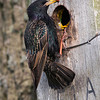 Stær / European Starling<br /> Vombs ängar, Sverige 24.5.2009<br /> Canon EOS 50D + EF 400 mm 5,6 L