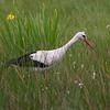 Stork / White Stork<br /> Vombs engar, Sverige 26.5.2007<br /> Canon EOS 20D + EF 400 mm 5.6 L