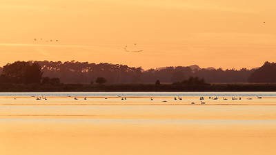 Knoppsvaner ved solnedgang / Mute Swans at sunset<br /> Krankesjön, Sverige 24.7.2018<br /> Canon 5D Mark IV + EF 500mm f/4L IS II USM + 1.4x Ext