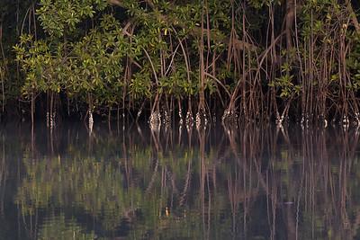 Mangrove<br /> Tendaba, Gambia 4.2.2016<br /> Canon 7D Mark II + Tamron 150-600 mm 5,0-6.3 @ 150 mm