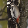 Flaggspett / Great Spotted Woodpecker <br /> Linneslia, Lier 26.2.2006<br /> Canon EOS 20D + EF 400 mm 5,6 L
