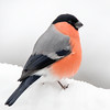 Dompap / Eurasian Bullfinch <br /> Linneslia, Lier 14.1.2018<br /> Canon 7D Mark II + Tamron 150 - 600 mm 5,0 - 6,3 G2