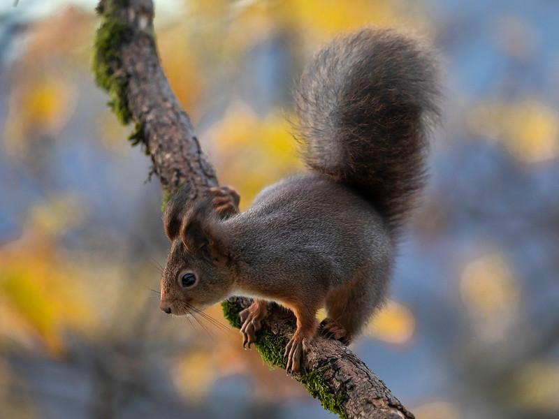Ekorn / Red Squirrel<br /> Linneslia, Lier 25.10.2020<br /> Canon 5D Mark IV + EF 500mm f/4L IS II USM