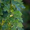 Sommereik / Quercus rubor