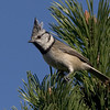 Toppmeis / Crested Tit <br /> Linneslia, Lier 4.10.2005<br /> Canon EOS 20D + EF 200 mm 2,8 + Extender 1,4 x