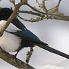 Skjære / Eurasian Magpie <br /> Linneslia, Lier 22.1.2006<br /> Canon EOS 20D + EF 400 mm 5,6