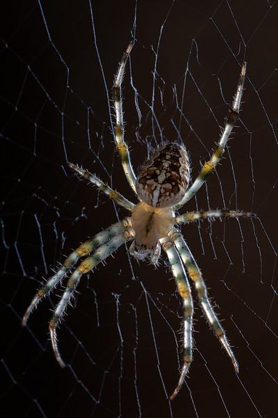 Korsedderkopp / Araneus diadematus<br /> Linneslia, Lier 2.9.2018<br /> Canon 5D Mark IV + EF 100mm f/2.8L Macro IS USM