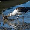 Svartbak / Great Black-backed Gull<br /> Linnesstranda, Lier 2.8.2013<br /> Canon EOS 7D + EF 100-400 mm 4,5-5,6 L