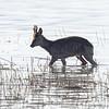 Rådyr / Roe Deer<br /> Linnesstranda, Lier 13.5.2021<br /> Canon EOS R5 + EF 500mm f/4L IS II USM + 1.4x Ext