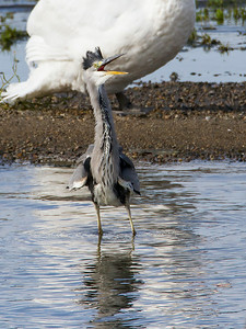 Gråhegre / Grey Heron<br /> Linnesstranda, Lier 24.8.2014<br /> Canon EOS 7D + Tamron 150-600 mm 5,0 - 6,3
