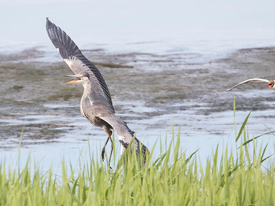Gråhegre / Grey Heron<br /> Linnesstranda, Lier 27.6.2015<br /> Canon 7D Mark II + Tamron 150 - 600 mm 5,0 - 6,3
