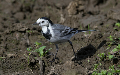 Linerle / White Wagtail<br /> Linnesstranda, Lier 23.8.2014<br /> Canon EOS 7D + Tamron 150 - 600 mm 5,0  -  6,3