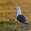 Sildemåke / Lesser Black-backed Gull<br /> Lista, Vest-Agder 19.5.2018<br /> Canon 7D Mark II + EF 500mm f/4L IS II USM + 1.4x Ext III