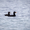 Sjøorre / White-winged Scoter <br /> Lista, Vest-Agder 22.5.2018<br /> Canon 7D Mark II + EF 500mm f/4L IS II USM + 1.4x Ext