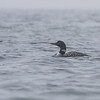 Islom / Common Loon<br /> Østhassel, Lista, Vest-Agder 14.5.2013<br /> Canon EOS 7D + 100-400 mm 4,5-5,6 L