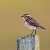 Buskskvett / Whinchat<br /> Lista, Agder 15.7.2020<br /> Canon  5D Mark IV + EF 500mm f/4L IS II USM + 2x Ext