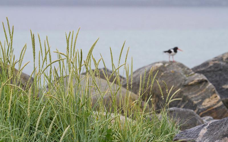 Strandrug / Lyme Grass<br /> Makkevika, Giske, Møre og Romsdal 21.7.2012<br /> Canon EOS 7D + EF 100-400 mm 4,5-5,6 L
