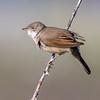 Tornsanger / Whitethroat <br /> Mølen, Vestfold 18.5.2018<br /> Canon 7D Mark II + EF 500mm f/4L IS II USM + 1.4x Ext