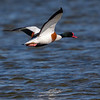 Gravand / Common Shelduck <br /> Mølen, Vestfold 18.5.2018<br /> Canon 7D Mark II + 500mm f/4L IS II USM + 2x Ext
