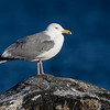 Gråmåke / Herring Gull<br /> Mølen, Vestfold  18.5.2018<br /> Canon 7D Mark II +  EF 500mm f/4L IS II USM + 2x Ext