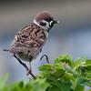 Pilfink / Eurasian Tree Sparrow <br /> Morups tånge, Sverige 26.5.2007<br /> Canon EOS 20D + EF 400 mm 5,6 L
