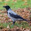 Kråke / Hooded Crow <br /> Jensvoll, Lier 16.11.2013<br /> Canon EOS 5D Mark II + EF 100-400 mm 4,5-5,6