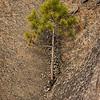 Ungfuru i bergveggen / Pine<br /> Lahellholmen, Asker 28.11.2020<br /> Canon 5D Mark IV + EF100-400mm f/4.5-5.6L IS II USM @ 278 mm
