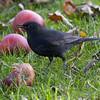 Svarttrost / Eurasian Blackbird <br /> Linneslia, Lier 11.10.2008<br /> Canon EOS 20D + EF 400 mm 5,6 L
