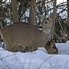 Rådyr / Roe Deer <br /> Linneslia, Lier 19.3.2006<br /> Canon EOS 20D + EF 28-105 mm