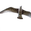 Svartbak / Great Black-backed Gull<br /> Slottet, Hurum 16.9.2012<br /> Canon EOS 7D + EF 100-400 mm 4,5-5,6 L