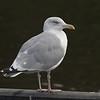 Gråmåke / European Herring Gull<br /> Østensjøvannet 28.8.2005<br /> Canon EOS 20D + EF 200 mm 2,8 + Extender 1,4 x