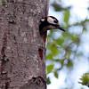 Flaggspett / Great Spotted Woodpecker <br /> Østensjøvannet, Oslo 23.5.2006<br /> Canon EOS 20D + EF 400 mm 5,6 L