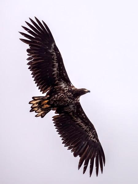 Havørn / White-tailed Eagle <br /> Runde, Møre og Romsdal 11.7.2007<br /> Canon 50D + EF 400mm f/5.6L USM