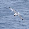 Gråmåke / European Herring Gull<br /> Runde, Møre og Romsdal 17.7.2012<br /> Canon EOS 7D + EF 100-400 mm 4,5-5,6 L