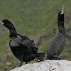 Toppskarv / European Shag <br /> Runde, Møre og Romsdal 24.6.2003 <br /> Olympus C2500UZ