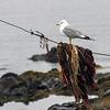 Fiskemåke / Mew Gull<br /> Runde, Møre og Romsdal 20.7.2012<br /> Canon EOS 7D + EF 100-400 mm 4,5-5,6 L