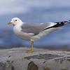 Fiskemåke / Mew Gull<br /> Runde, Møre og Romsdal 6.5.2005<br /> Canon EOS 20D + EF 200 mm 2,8 + Extender 1,4 x