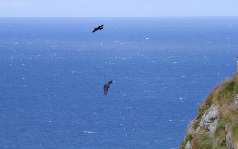 Ravn / Common Raven<br /> Runde, Møre og Romsdal 17.7.2012<br /> Canon EOS 7D + EF 100-400 mm 4,5-5,6 L