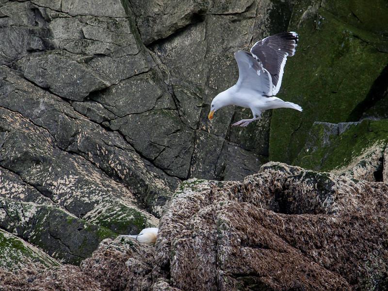 Svartbak / Great Black-backed Gull<br /> Runde, Møre og Romsdal 20.7.2012<br /> Canon EOS 5D mark II + EF 100-400 mm 4,5-5,6 L