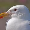 Svartbak / Great Black-backed Gull<br /> Runde, Møre og Romsdal 8.7.2009<br /> Canon EOS 50D + EF 400 mm 5,6 L