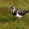 Vipe / Northern Lapwing<br /> Ottenby, Øland, Sverige  25.7.2013<br /> Canon EOS 7D + EF 100-400 mm 4,5-5,6 L