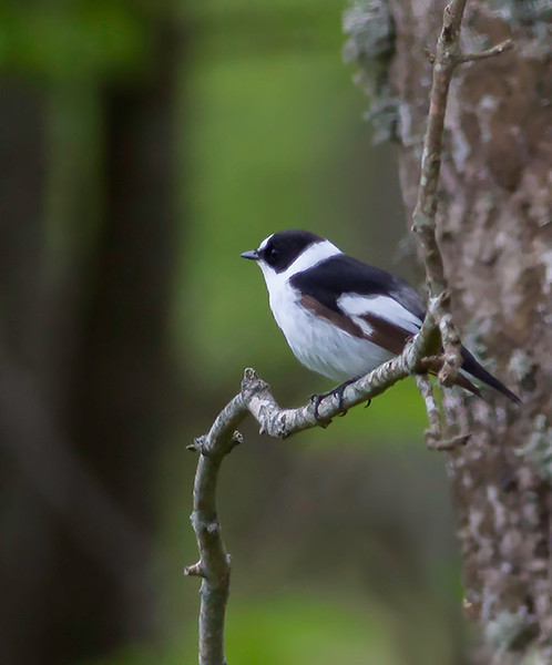 Halsbåndfluesnapper / Collared Flycatcher<br /> Øland, Sverige 23.5.2009<br /> Canon EOS 50D + EF 400 mm 5,6 L