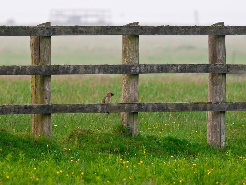 Grønnspett / Green Woodpecker <br /> Ottenby, Øland 28.5.2007<br /> Canon EOS 20D + EF 400 mm 5.6 L