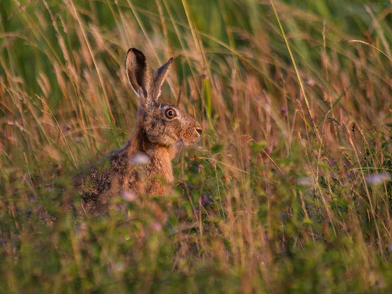Sørhare / Brown Hare<br /> Hals, Danmark 30.3.2013<br /> Canon EOS 7D + EF 100-400 mm 5,6 L