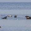 Havert / Grey Seal<br /> Ottenby, Øland, Sverige 24.7.2013<br /> Canon EOS 7D + EF 100-400 mm 4,5-5,6 l