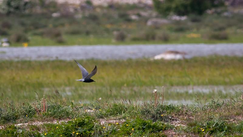 Svartterne / Black Tern <br /> Görans demme, Øland 27.5.2007<br /> Canon EOS 20D + EF 400 mm 5,6 L