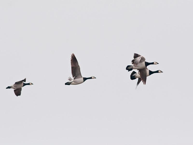 Hvitkinngås / Barnacle Goose<br /> Ottenby, Øland, Sverige 28.5.2007<br /> Canon EOS 20D + EF 400 mm 5,6 L