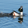 Kvinand / Common Goldeneye<br /> Østensjøvannet, Oslo 4.4.2015<br /> Canon 7D Mark II + Tamron 150 - 600 mmm 5,0 - 6,3 @ 483 mm